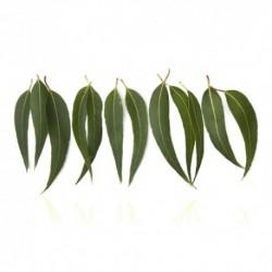 Qualitäts-Aroma Eukalyptus 10ml